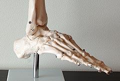 足の骨格標本